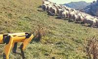 Balki ishonmassiz, lekin robot allaqachon cho'ponlik qilyapti! («jonli» video)